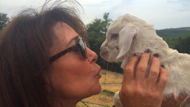 Guest giving love to Chianti cashmere goat deep in the hills of Tuscany at a local artisan's goat farm
