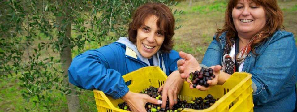 Picking Olives in Umbria